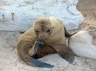 Starving sea lion on the mend