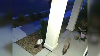 CAUGHT ON CAMERA: Coyotes terrorize neighborhood