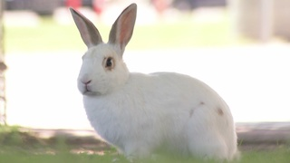 CONTACT 13: Rabbit roundup fails