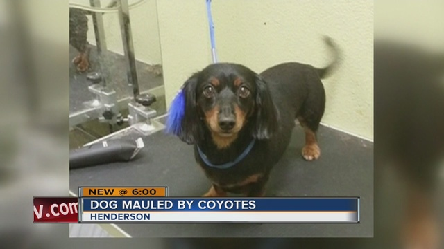 Dog mauled by coyotes on Henderson golf course