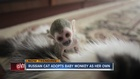 Russian cat carries baby squirrel monkey