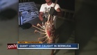Giant lobster caught in Bermuda after hurricane