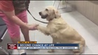 Rescue works to save golden retrievers worldwide
