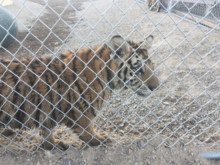 Tigers seized in Nye County find new home