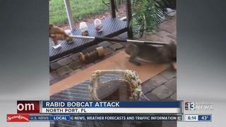 WATCH: Rabid bobcat attack at Florida home
