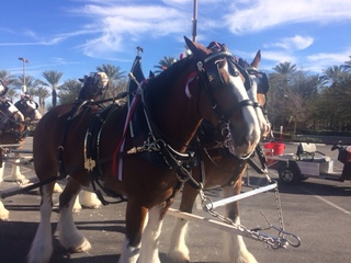 The Budweiser Clydesdales hit the Strip