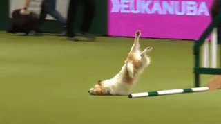 Olly faceplants during dog show, keeps going