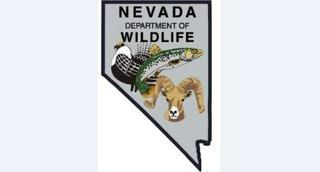 First wolf in Nevada since 1922