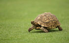 Free tortoise adoption event on April 1