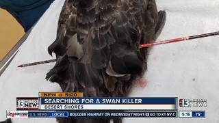 Activists hoping someone knows who shot swan