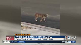 Wild cat prowling the streets in Summerlin