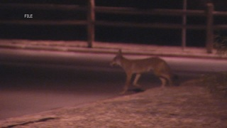 Use whistle or air horn to scare off coyotes