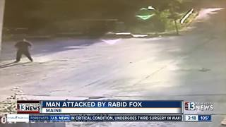 VIDEO: Fox won't stop attacking man in Maine