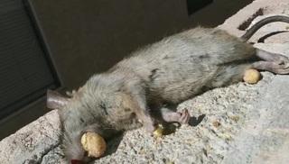 Cereal-eating rat found in Vegas neighborhood