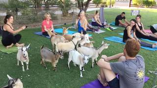 Practice yoga with goats in Las Vegas