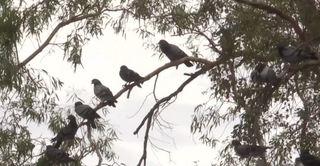 Pigeon problem at church disturbs parishoners