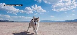 'Game of Thrones' prompts Siberian Husky craze