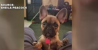 Woman says robbers stole pregnant dog