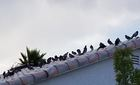 Pigeon birth control explored to combat problem