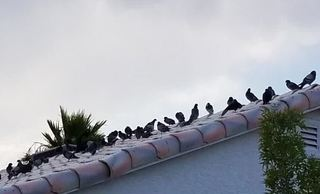 Pigeon birth control explored to combat problem