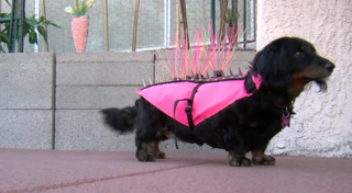 Coyote vests with spikes used to protect pets