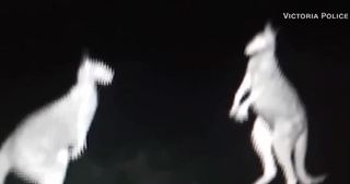 Kangaroo fight at night caught on camera