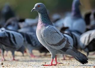 Feeding pigeons could result in jail in Vegas