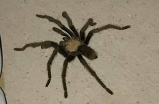 Tarantulas popping up due to mating season