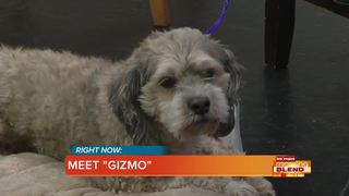 Pick Of The Litter: Gizmo