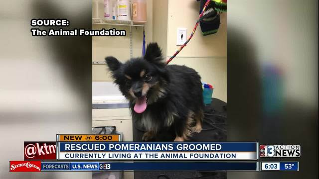 UPDATE: Rescued Pomeranians Prepare For Adoption