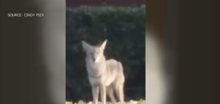 Coyotes approach residents in apartment complex