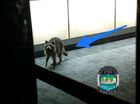 Raccoon breaks into Tennessee phone store