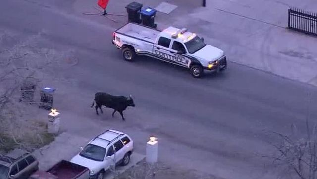 One injured as bull runs wild near downtown Las Vegas