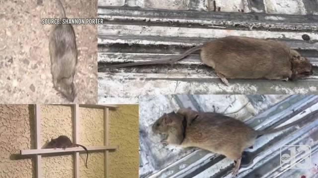 UPDATE: Henderson Woman Still Battling Family Of Rats In Backyard    KTNV.com Las Vegas