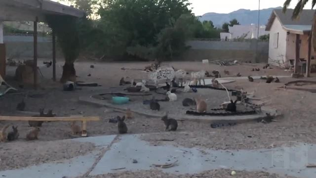 Las Vegas neighborhood taken over by bunnies