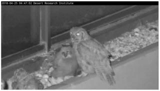 NV owl livestream attracting worldwide viewers