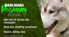 Pet owner warns others about marijuana poisoning