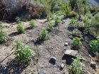 Illegal marijuana plants found in Death Valley