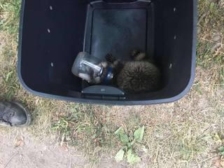 Raccoon that got head stuck in mayo jar rescued