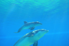 Mirage welcomes new bottlenose dolphin calf