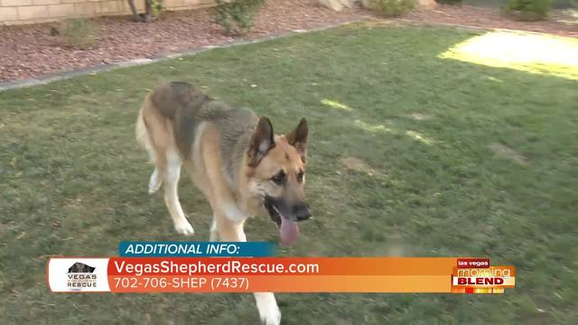 German Shepard's In Need Of A Home