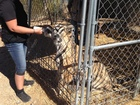 Man claims tigers emotional support animals